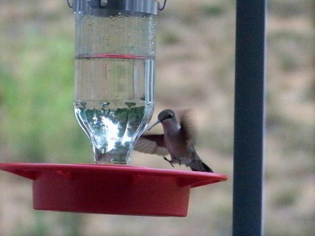 hummingbird03