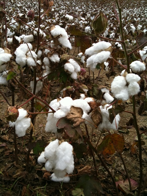 cottonclose
