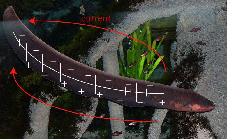 Eel Electric vs Crocodile Electric Eel Fish Attack