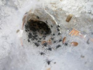 Photo of social spiders in a shared web, via Wikipedia.  Image by Edgar P. Miller.