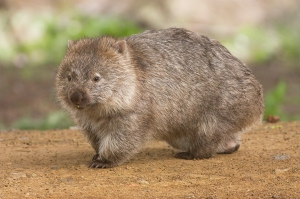 commonwombat