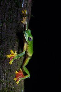 The Malabar Gliding Frog, via Wikipedia.