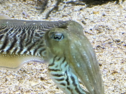 Cuttlefish eye up close, my own photo.