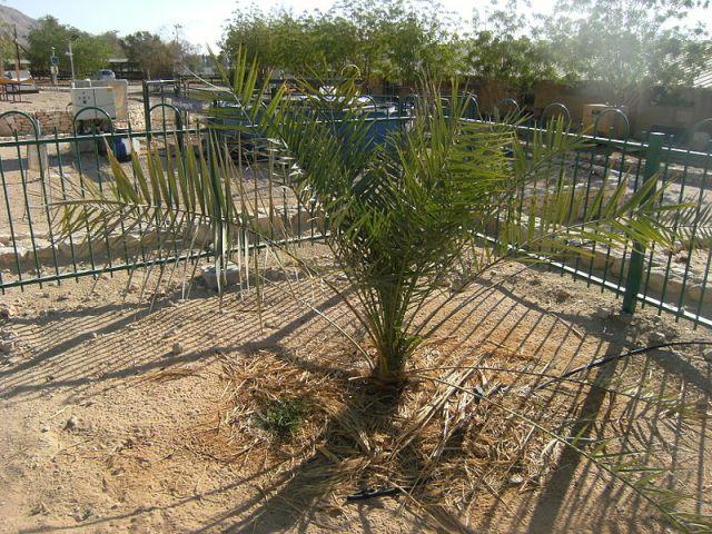 Judean Date Palm, photo via Wikipedia.
