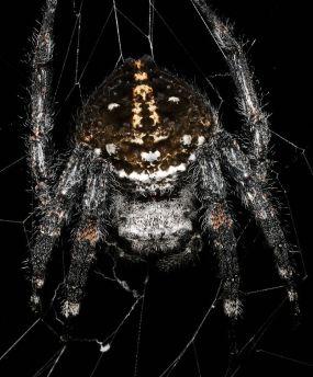 Darwin's bark spider, via Wikipedia.