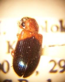 Necrobia ruficollis, via Wikipedia.