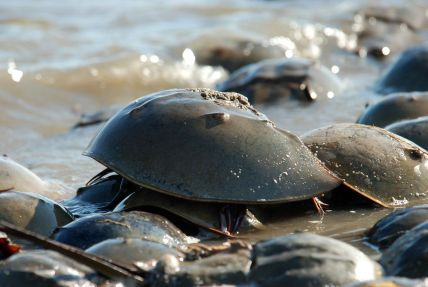 A horseshoe crab, via Wikipedia.